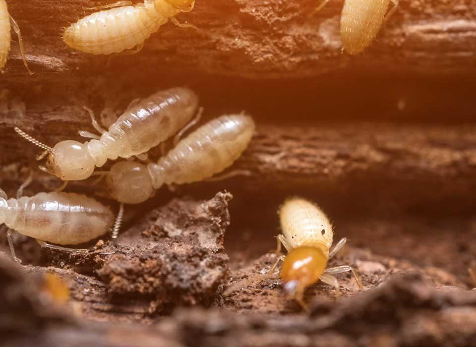 Identify termites in Stuart, FL