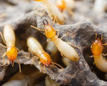 Subterranean Termites in Stuart, Florida