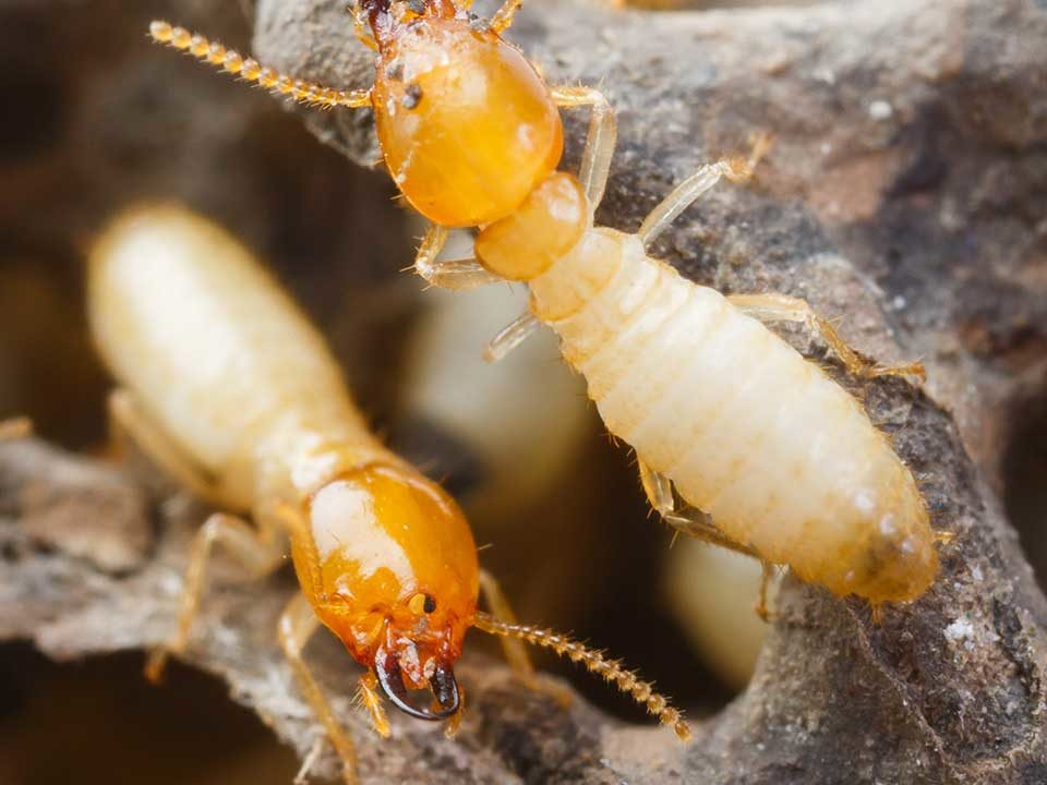 Termites in dry wood